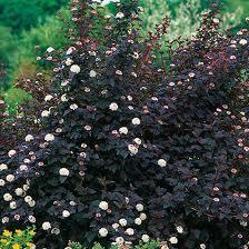 Diablo Ninebark Physocarpus Opulifolius Monlo